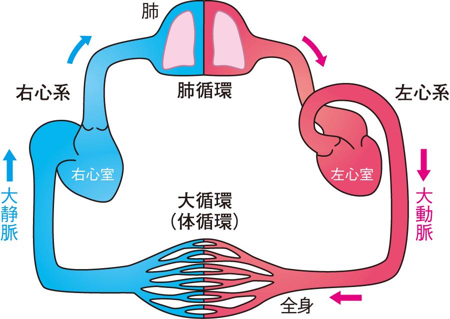 循環器の基礎知識